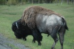 bison-yellowstone 975669