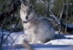 wolf-86624